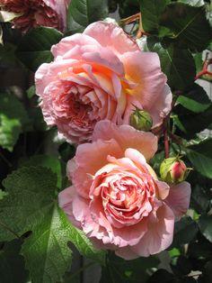 'Abraham Darby' |  Shrub.  English Rose Collection. David C. H. Austin, 1985 | Flickr - © 44Tina
