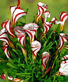 Oxalis Versicolor (Candy Cane Sorrel) is a unique bulb with really spectacular flowers! Very beautiful in full bloom, they are even more stunning when they have not quite opened up completely and display a striking red and white striped pattern. They can be planted in the garden or in a planter on the patio or window-box. Store your oxalis frost free over the winter.