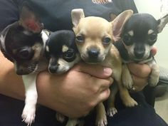 is an adoptable Chihuahua searching for a forever family near Franklin, TN. Use Petfinder to find adoptable pets in your area. Yorkies, Chihuahua, Searching, French Bulldog, Husky, Puppies, Pets, Animals, Animals And Pets