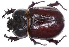 Family: Scarabaeidae Size: 15-25 mm Distribution: Central Europe, Eastern Europe, North Africa Location: Tunisia, Djerba, Mezghaya leg det. U.Schmidt, 2007 Photo: U.Schmidt, 2007