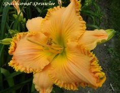 Roth Daylilies