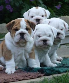 Group of cute english bulldog puppies.. click on pic to see more