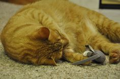 Charles playing with a Harley-Davidson® Cat Toy #harleydavidson #cattoy #harleycat #cat #catproduct #coastalpet