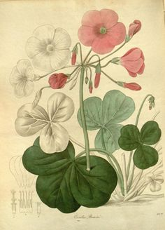 Bowie's Oxalis (Oxalis Bowiei).Plate from 'The Botanist's Repository' by Henry Andrews. Published 1797 by The author in London  archive.org