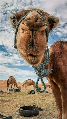 Animals ©: Camels in the Desert Nature Animals, Animals And Pets, Baby Animals, Funny Animals, Cute Animals, Beautiful Creatures, Animals Beautiful, Tier Fotos, Zebras