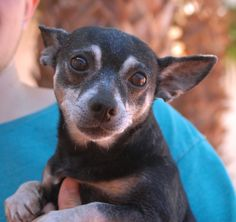 Little Andy needs someone to love.  He is a humble, unassuming, super sweet little gentleman debuting for adoption today at Nevada SPCA (www.nevadaspca.org).  Little Andy needed us due to his previous owners' financial hardship.  He is a small Heinz 57 with Chihuahua and more breeds, 9 years of age, neutered, good with dogs and kids, and housetrained.