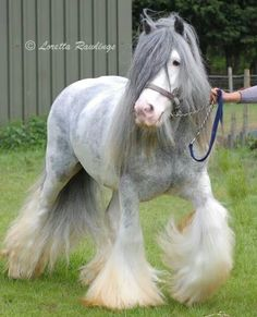 Gypsy Vanner horse with the most beautiful soft grey coloring.