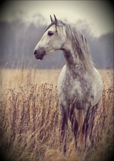 Beautiful dappled grey horse