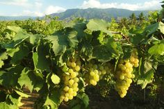 Hatten vineyard in north Bali. Photo courtesy of Hatten via The Jakarta Post Travel.