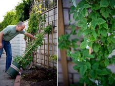 Canby Red Raspberries grow in Southern California