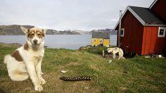 Greenland Dog (Grønlandshund). Greenland Dog, German Spitz, Sled Dogs, American Akita, Japanese Spitz, Alaskan Malamute, Amazing Dogs, Samoyed, I Love Dogs