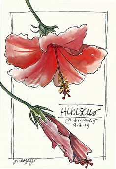 Hibiscus - rare beauty, delicate beauty