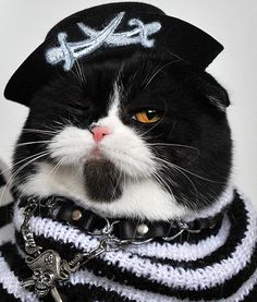 A Scottish Fold cat dresses up in a pirate costume during the annual cat exhibition in Bishkek, Kyrgyzstan.