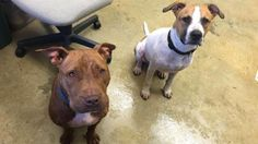 ***URGENT - 2/27/17 Miss Piggy -Richland County Dog Warden in Mansfield, Ohio - ADOPT OR FOSTER - Young Female Pit Bull - came in with Kermit (on the right). I am a super sweet gal. I have been over bred in the past and I am ready for those days to be behind me. I want to find a wonderful home where I can be a treasured companion and a part of the family.