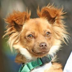 Barbie is an adoptable Chihuahua Dog in Walnut Creek, CA. 2-year-old Barbie is a gentle, sensitive girl who would love an easygoing home to call her own. Barbie would be the perfect companion for low-...