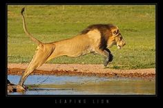 """George Schaller, one of the world's greatest field biologists and author of """"lions of the Serengeti"""", estimated that lions can sprint at up to 35mph/56kph."""