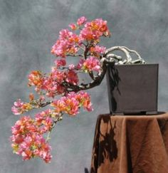 Bonsai Bougainvillea-caution required when working with this plant and moss......serious pathogen problem! Read just in case......