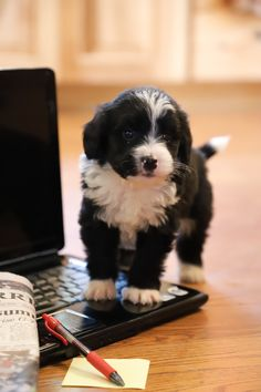 🐾❤️🥰 Ready to add a little extra spice in your life? Why not add a fun-loving fur baby?! We are soft #Sweet and cuddly #MiniBernedoodle puppies and would love to brighten your life with our sweet little faces! #LancasterPuppies www.LancasterPuppies.com Bernadoodle Puppy, Mini Bernedoodle, Puppy Quotes, Lancaster Puppies, Fun Loving, Puppies For Sale, Fur Babies, Spice, Faces