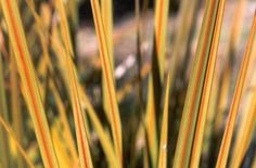 Libertia is often used in council landscaping with other New Zealand native plants. It has strong and striking spiky growth, with a strong burnt-orange stripe on olive green leaves. Gold Stripes, Green Stripes, Dog Friendly Garden, Strong Wind, Native Plants, Dog Friends, Green Leaves, Shrubs, Seeds