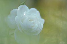 薔薇2012 : FLORENCEのデジタル一眼photo gallery
