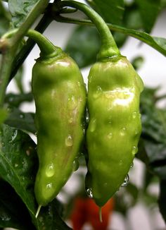 Pepper: DATIL #1 (by 3Point141)