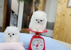 white pomeranian dogs pictures teacup