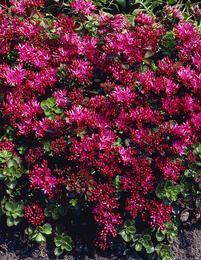 Kaukasianmaksaruoho, sietää hyvin kuivuutta ja viihtyy hyvin ohuessakin kasvualustassa.