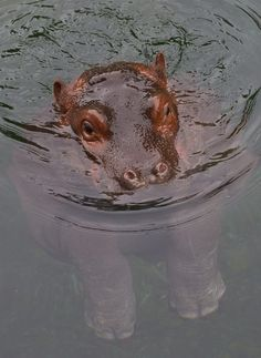 Adhama, baby hippo from the San Diego Zoo (photos by the San Diego Zoo)