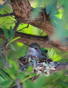 female costa's hummingbird