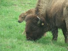 Do I look like my momma? 2015 Boss Bison Ranch