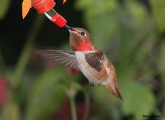 Allen's Hummingbird, Selasphorus sasin, is a species of hummingbird. It is a small bird, with mature adults reaching only 3 to 3½ inches (75 to 90 mm) in length.