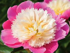 Embraceable Pink peony, I put this one in the garden too.