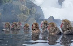 Ilya Raskin - Japanese macaques (Snow monkeys)(Macaca fuscata) - Nagano Japan Snow Monkeys, Japanese Macaque, Nagano Japan, Posts, Artists, Friends, Painting, Amigos, Messages