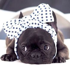 Mom, I asked you to get me a Polka-dot bowtie!! This is not what I expected ... frustrated French Bulldog Puppy❤@hokus_theo on Instagram
