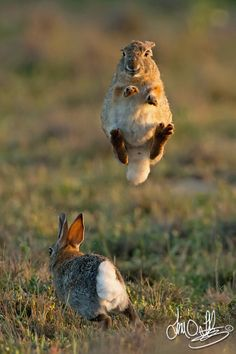 Rabbit (female) jumping to elude the male. Good girl! Now kick him with those back feet!  T