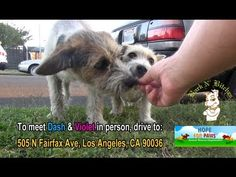 Dog Rescue: Tiny Lulu; hit by a car. - YouTube