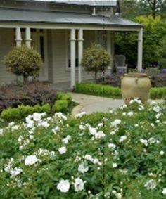 98 best flower carpet in gardens images on pinterest easy garden white flowers amongst greenery flower carpet white rose mightylinksfo