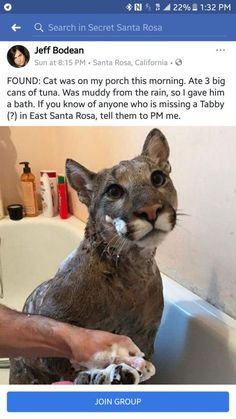 Living Off The Grid added a new photo. 1 hr FOUND Cat was on my porch this morning. Ate 3 big cans of tuna. Was muddy from the rain so I gave him a bath. If you know of anyone who is missing a Tabby (?) in Cape Coral FL tell them - Daily LOL Pics Funny Animal Memes, Cute Funny Animals, Funny Animal Pictures, Cat Memes, Cute Cats, Funny Cats, Funny Memes, Cat Fun, That's Hilarious