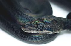 Reptile Facts - Black Child Reticulated Python. Blurb from New...