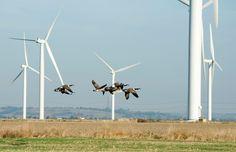 Per gli uccelli i ripetitori radio sono una minaccia maggiore
