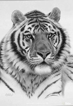 Gorgeous adult tiger