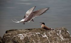 Arctic Tern is bringing fish to her child :-)