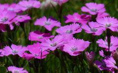 Alpine varieties of dianthus or pinks flowers are stunning in the rockery. Rockery plants: Top 10 plants for an alpine rock garden Rockery Garden, Rock Garden Plants, Gravel Garden, Sun Plants, Water Garden, Alpine Garden, Alpine Plants, Organic Gardening, Gardening Tips