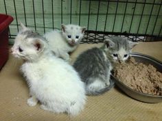 """""""THE CUTIES"""" HAVE BEEN RESCUED !!  THE 277TH, 278TH & 279TH CATS RESCUED FROM CCAC IN 2015  22 APR @5PM ET - PULLED FOR RESCUE BY CAT ADOPTION TEAM, WILMINGTON, FOR FOSTER CARE"""