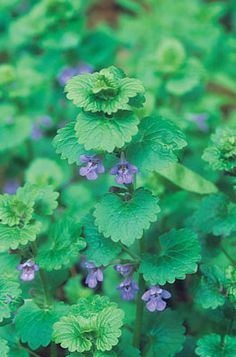 Herb to Know: Creeping Charlie (Ground Ivy)