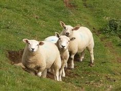 Healthy sheep have good fat-to-muscle ratios.