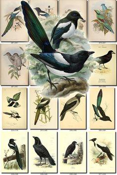 Photo Poster Animal Passereau Crow Corbeau Freux Pie Framed Print-Blue Jay OISEAU