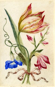 Drawing from an album, yellow and crimson Tulip, blue Convolvulus and crimson Gladiolus, tied with orange ribbon Watercolour over metalpoint, heightened with white, on vellum by Alexander Marshal.