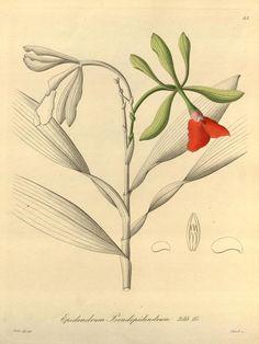 1858 v. 1 - Xenia orchidacea - Biodiversity Heritage Library