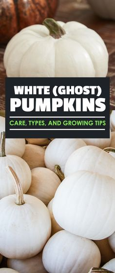 White (Ghost) Pumpkins: Care, Types, and Growing Tips - White pumpkins add a splash of brightness to your pumpkin patch and are just as easy to grow as normal pumpkins! Read on for a complete gardener's how to. via Epic Gardening Pumpkin Garden, Pumpkin Farm, Ghost Pumpkin, Diy Pumpkin, Pumpkin Crafts, Pumpkin Recipes, Pumpkin Carving, Pumpkin Painting, Pumpkin Cookies